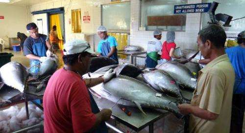 Workers grade and pack yellowfin tuna in Majuro on November 18, 2014 for shipment to sashimi markets in the US and Japan