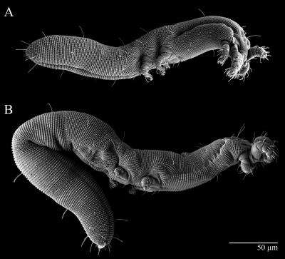 Worm-like mite species discovered on Ohio State's campus