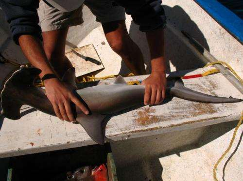 Endangered hammerhead shark found migrating into unprotected waters