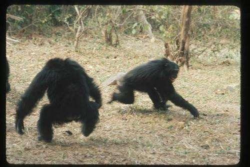 Male bullies father more chimpanzees