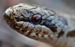 Young smooth snakes rely on reptiles