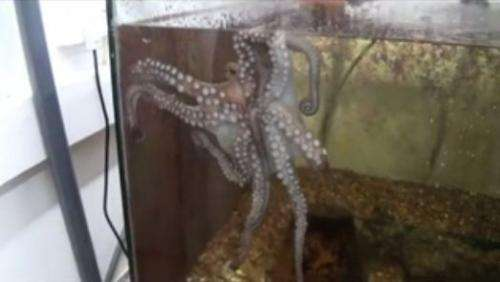 How octopuses don't tie themselves in knots