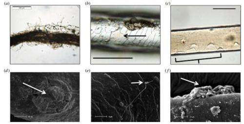 Researchers offer taphonomic degradation processes for mammalian hair