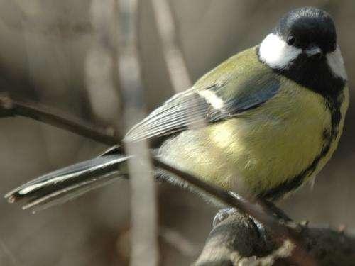Milk bottle-raiding birds pass on thieving ways to their flock