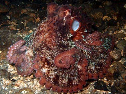 1, 2, 3 octopuses: Divers conduct underwater census