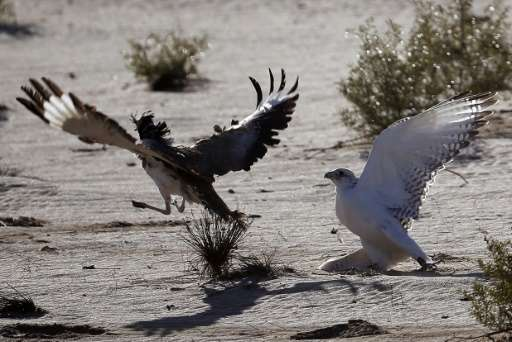 A falcon (R) tries to catch a houbara bustard during a falconry competition in Hameem, 150km west of Abu Dhabi, on December 9, 2