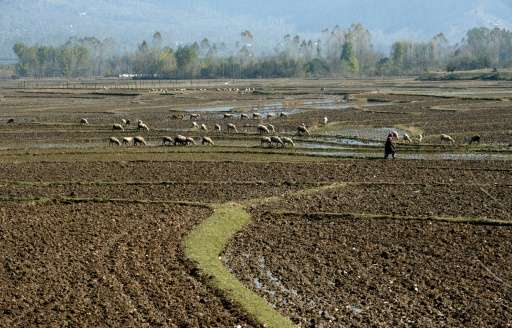 A Kashmiri villager walks in paddy fields in Chandigam village in the Lolab Valley, at the foothills of the northern Kashmir Him