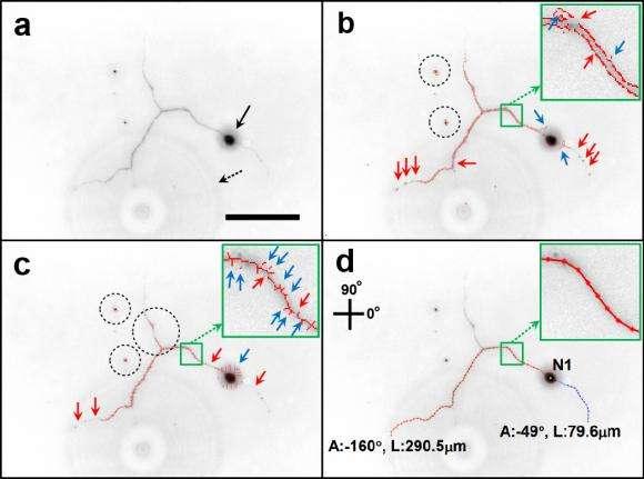 Algorithm helps analyze neuron images