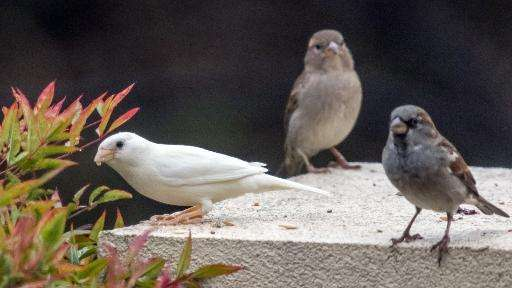 An albino sparrow (L), one of the rarest birds in the world, is seen in the outer Melbourne suburb of Point Cook