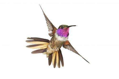 A new species of hummingbird?