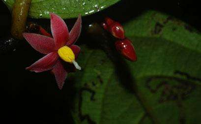 A rare new plant inspires the first genus named after Sir David Attenborough