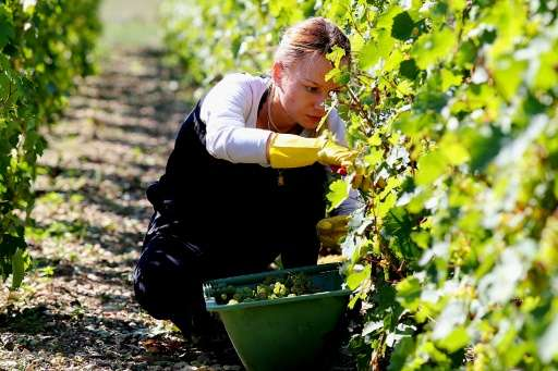 A worker harvests grapes for Michel Drappier, a winemaker in the Urville area of Champagne province