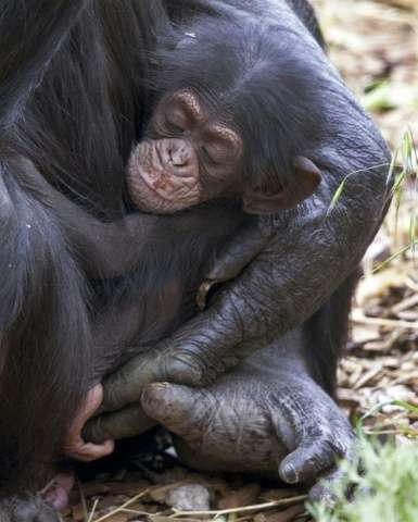 Baby chimp Boon, which means blessing, was orphaned when its mother Soona died shortly after he was born at Monarto Zoo, southea