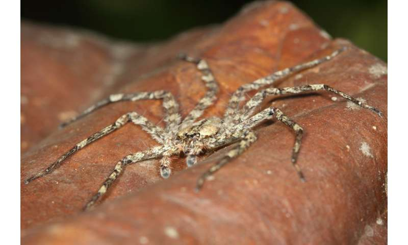 Biologists discover skydiving spiders in South American forests
