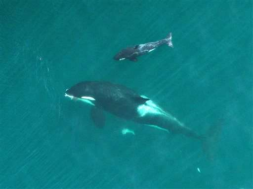 Biologists fly drone to track health of endangered orcas
