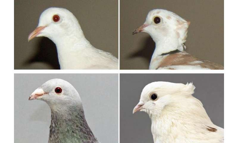 Birds of a feather: Pigeon head crest findings extend to