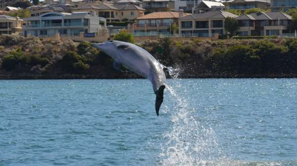 Bottle-nose dolphins at risk in Perth rivers