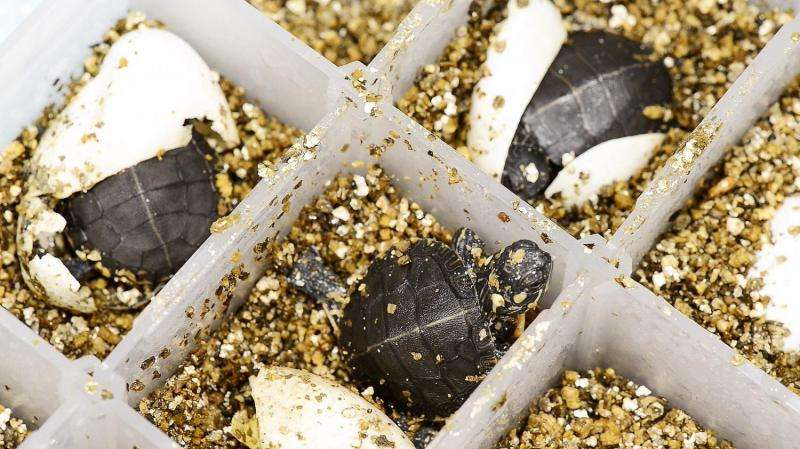 BPA can disrupt sexual function in turtles, could be a warning for environmental health
