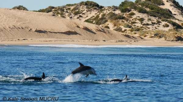 Bunbury dolphins face foreshore developements