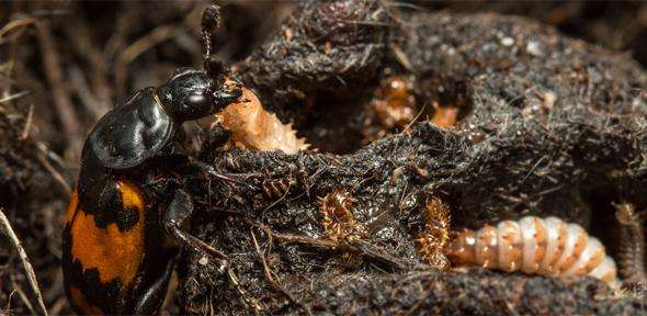 Burying beetles: could being a good father send you to an early grave?