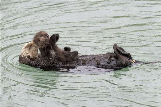 California aquarium welcomes birth of baby sea otter