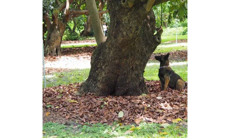 Canines detect deadly disease in historic avocado trees