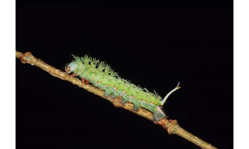 Colorful caterpillar chemists may signal new useful plant compounds