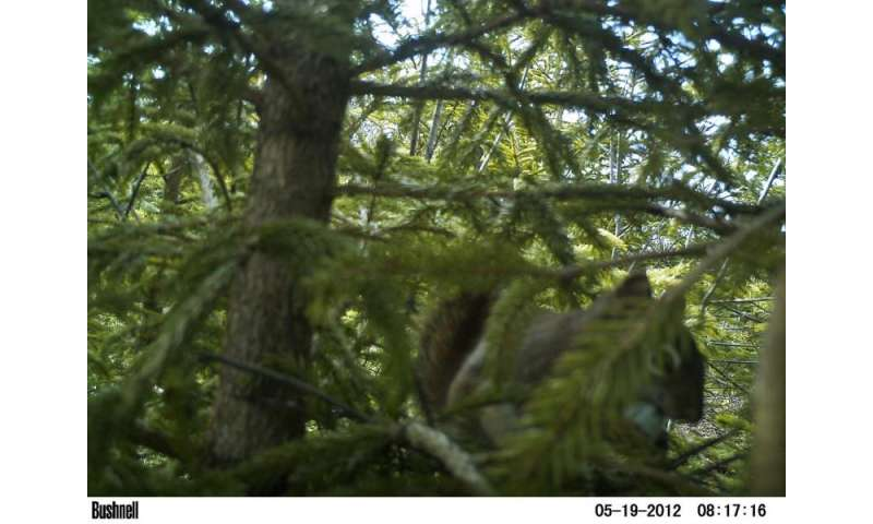 Cones, squirrels, and rusty blackbird nests