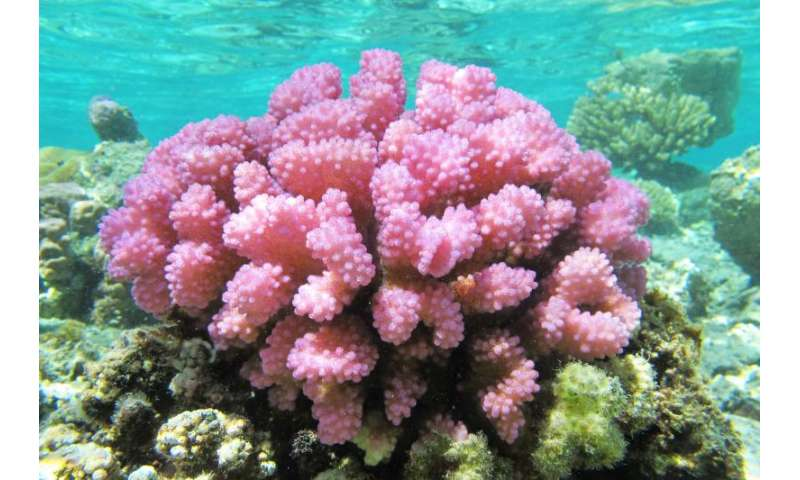 Coral colonies more genetically diverse than assumed