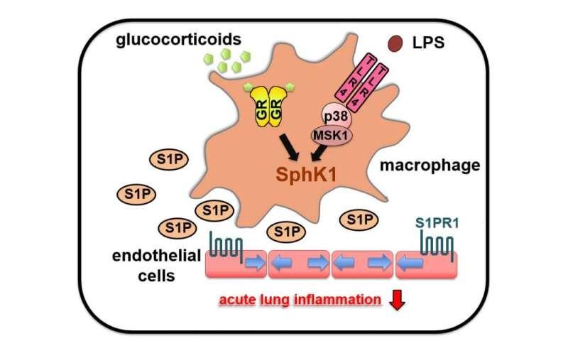 Cortisone affects acute lung injury (ALI) via pro-inflammatory signalling pathways