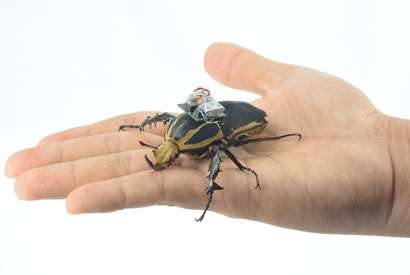 Cyborg beetle research allows free-flight study of insects