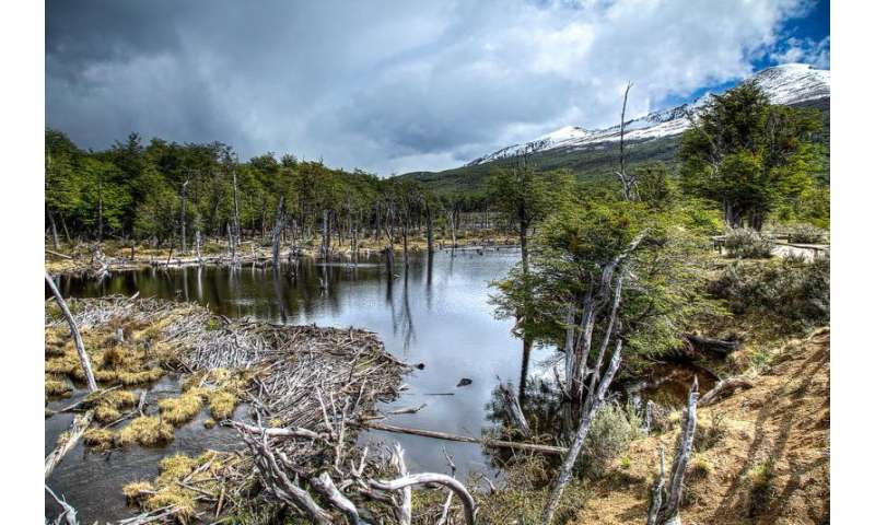 Dam good research on invasive beavers in Patagonia