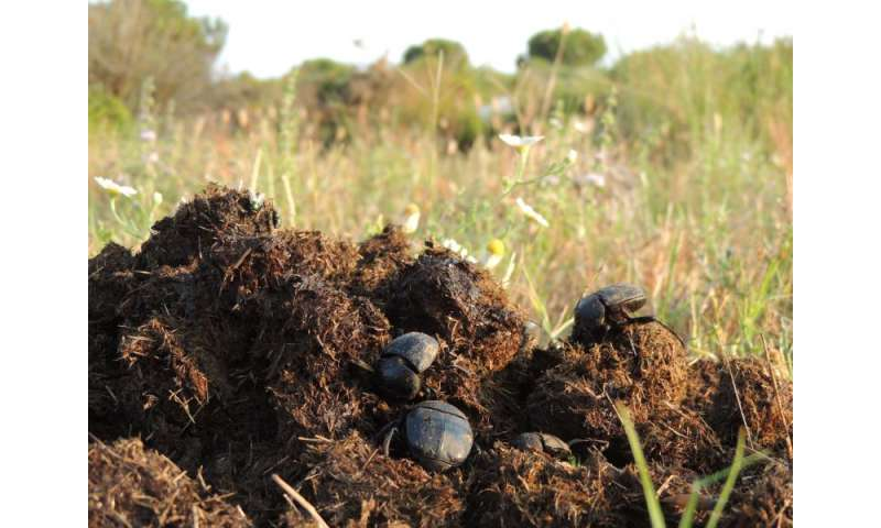 Decline in dung beetle populations due to use of preventative medicine for livestock