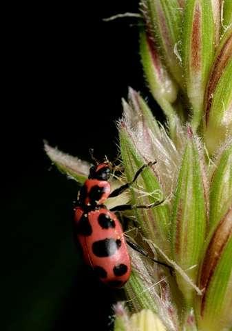La población diversa de insectos significa menos plagas en los campos de maíz