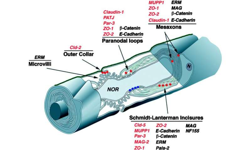 Driving myelination by actin disassembly