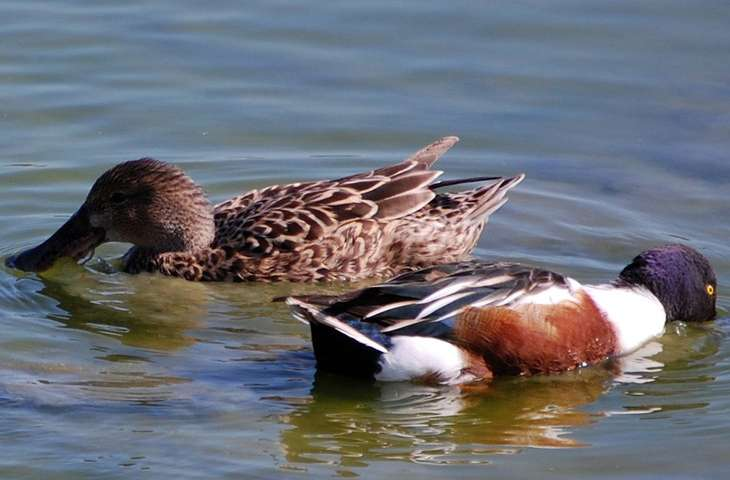 Eastern poultry producers brace for avian flu this fall as waterfowl migrate
