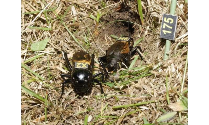 Elderly crickets are set in their ways, study finds