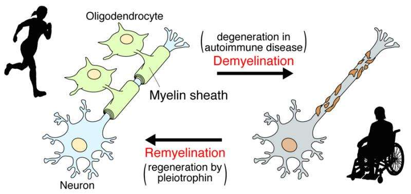 Elucidation of the molecular mechanisms involved in remyelination