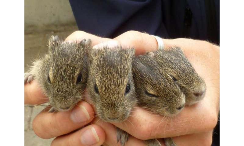 Epigenetics in wild guinea pigs