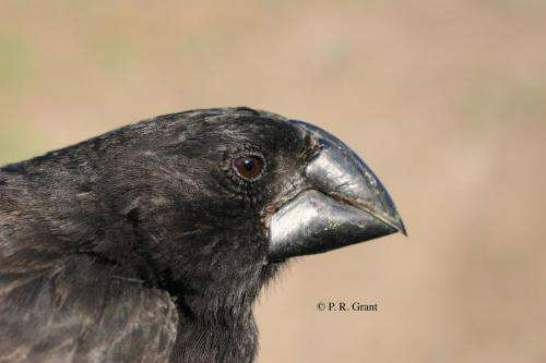 Evolution of the Darwin's finches and their beaks