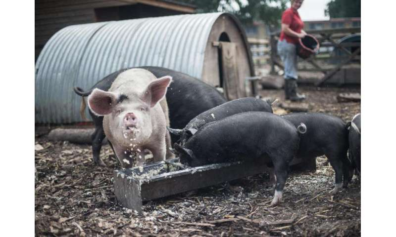 Feeding food waste to pigs could save vast swathes of threatened forest and savannah
