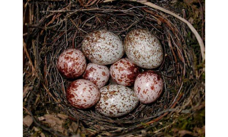 Female cowbirds pay attention to cowbird nestling survival, study finds