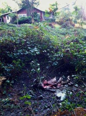 Female pumas kill more, eat less when humans are near, UC Santa Cruz study finds