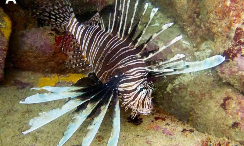 First invasive lionfish discovered in Brazil