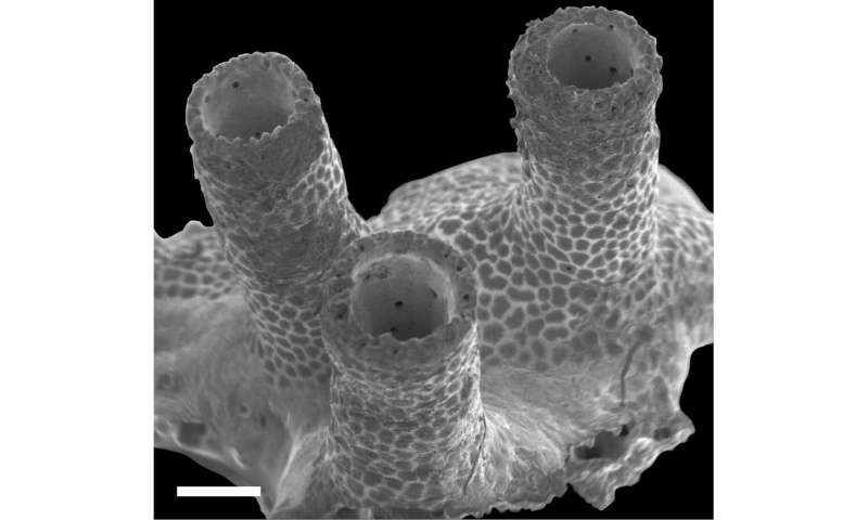 Hard soft coral: New genus and species of 'living fossil' octocoral related to blue coral