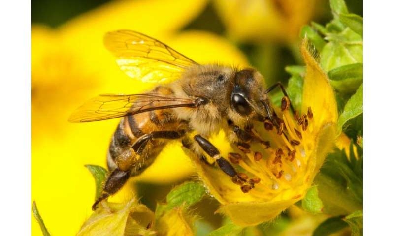 How bees naturally vaccinate their babies