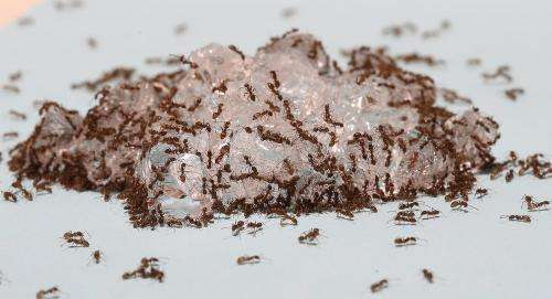 Hydrogel baits offer novel way to manage invasive ants