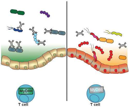 Immune system promotes digestive health by fostering community of 'good' bacteria