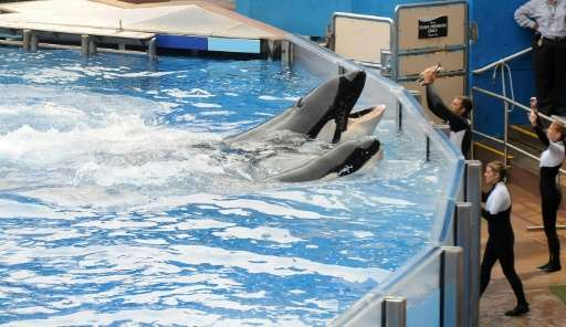 "Killer whale ""Tilikum"" (back) appears during its performance in the show ""Believe"" at Sea World in Orlando,"