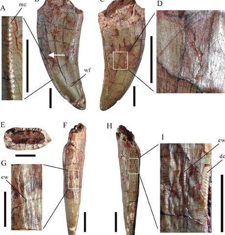 Large theropod teeth found from the upper cretaceous of Jiangxi, Southern China